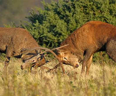 TTDA - RSPB Minsmere - Stags