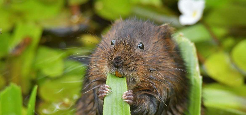 TTDA - Suffolk Wildlife Trust - Water Vole (c) Gavin Durrant