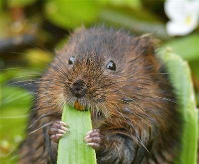 TTDA - Suffolk Wildlife Trust - Water vole