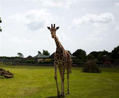 TTDA - Africa Alive - Giraffe