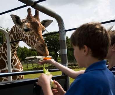 TTDA - Africa Alive - Boy feeding giraffe