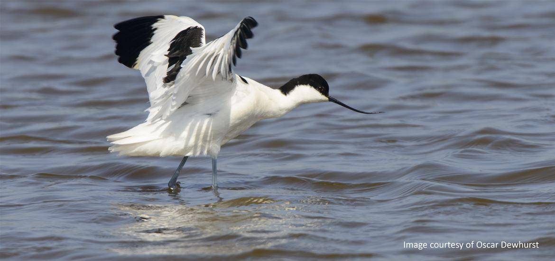 BBC Springwatch - Avocet - RSPB Minsmere Nature Reserve - (c) Oscar Dewhurst