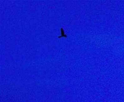 Nightjars over the Heath Walks