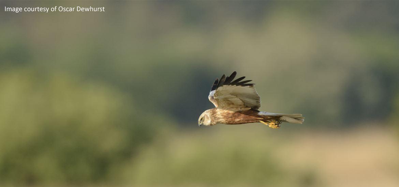 BBC Springwatch - Marsh Harrier - RSPB Minsmere Nature Reserve - (c) Oscar Dewhurst