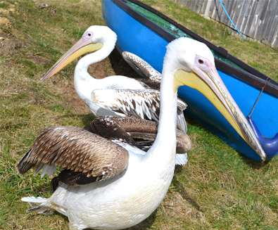 Great White Pelicans arrive at Pleasurewood Hills!